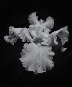 Bearded Iris Black And White