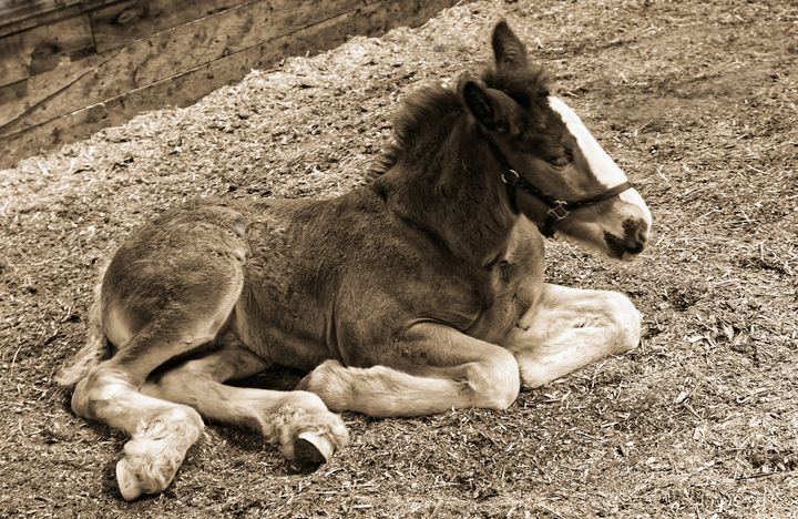Shire Horse Foal Sepia - JT54Photography