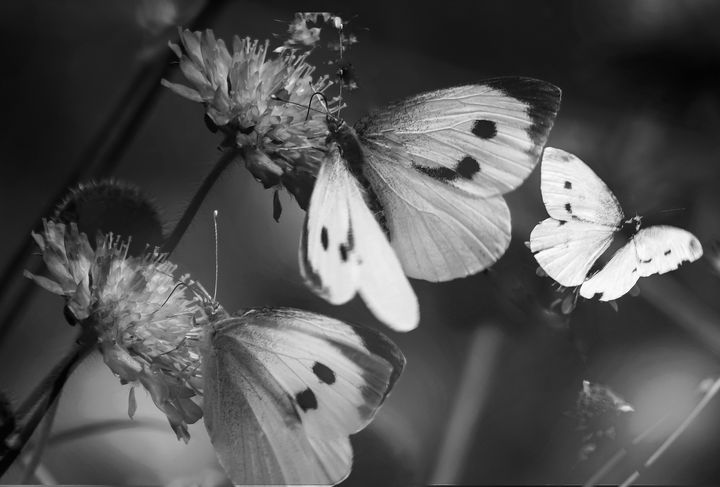 Three Small White Butterflies Mono - JT54Photography