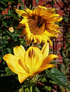 The Sun Flower And The Lily