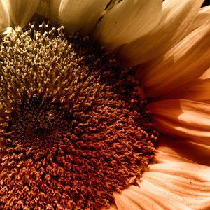 Sunflower In A Corner