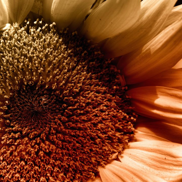 Sunflower In A Corner - JT54Photography