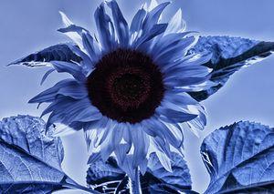 Sunflower Feeling Blue