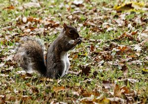 Grey Squirrel With Acorn