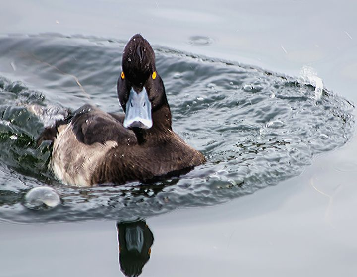 Tufted Duck Eclipse - JT54Photography