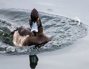 Tufted Duck Eclipse