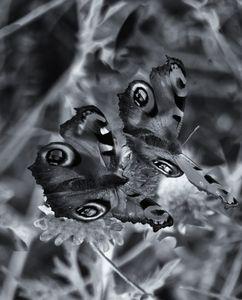 Peacock Butterflies Monochrome