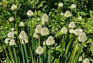 Welsh Onion Plant