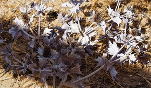 Sea Holly (silver)
