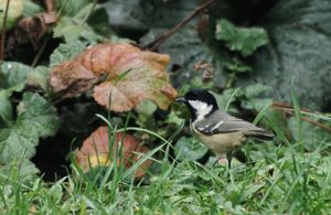 Coal Tit In The Grass