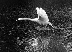Swan Flying Monochrome