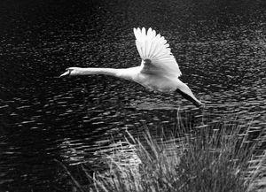 Swan Flying Monochrome