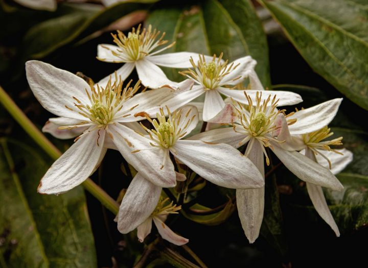 White Clematis Flowers - JT54Photography