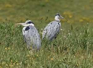 A Pair Of Young Grey Herons