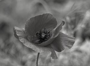 Poppy Black And White
