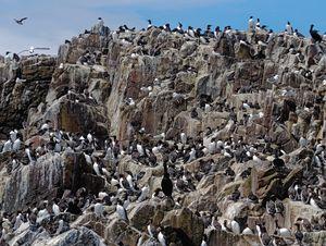 Farne Island Seabird Colony
