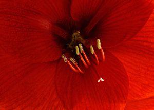 Inner Red Amaryllis