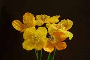 A Group Of Welsh Poppies