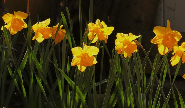 Late Daffodils - JT54Photography