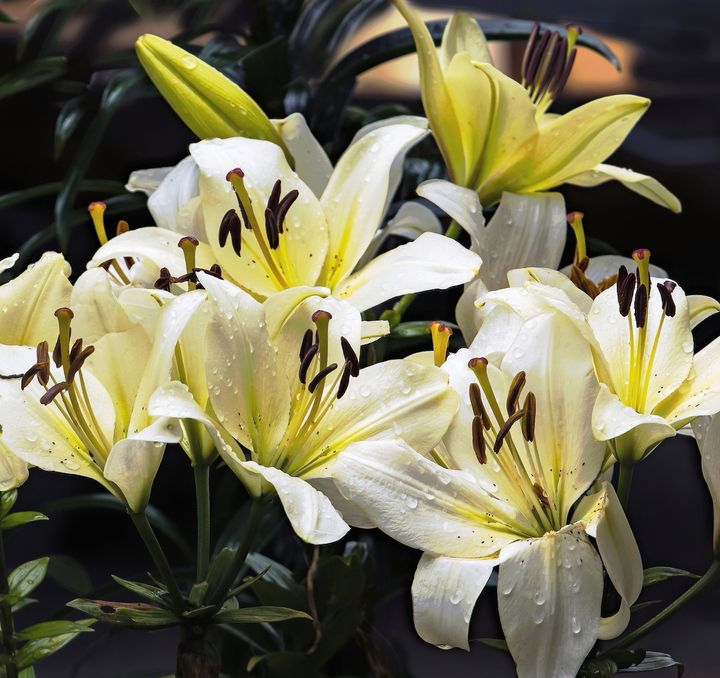 Lillies And Raindrops - JT54Photography