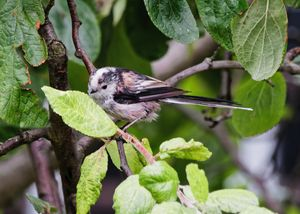 Long-Tailed Tit Feeding