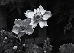 Japanese Anemone Monochrome