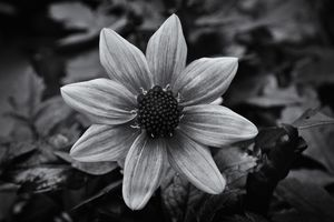 Dahlia Black And White