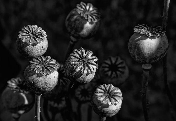Poppy Seed Pods Monochrome - JT54Photography