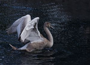 Cygnet On A Lake
