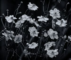 Japanese Anemone Flowers Monochrome