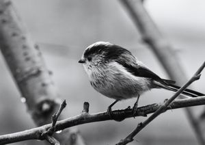 Long Tailed Tit Monochrome