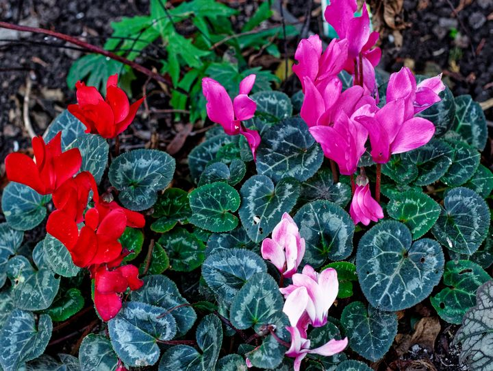 Cyclamen Flowers - JT54Photography