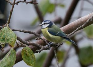 A Single Blue Tit
