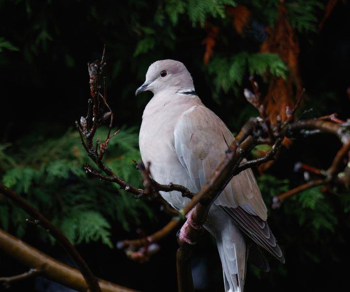 Collard Dove - JT54Photography