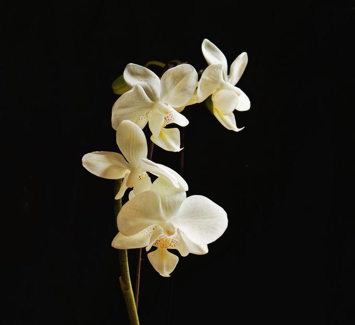 Four Orchids - JT54Photography