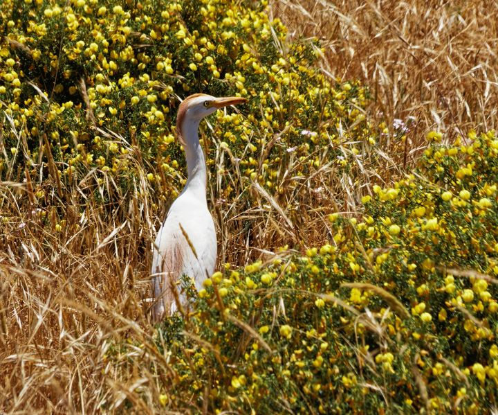 Cattle Egret - JT54Photography