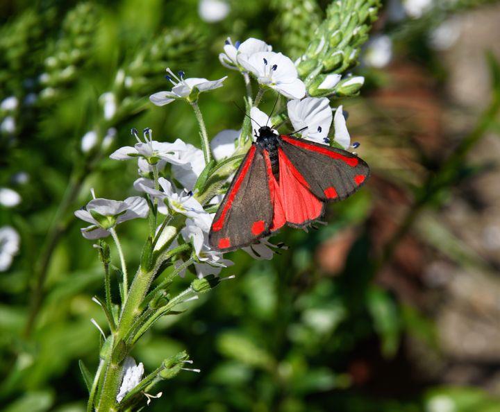 Cinnabar Moth - JT54Photography