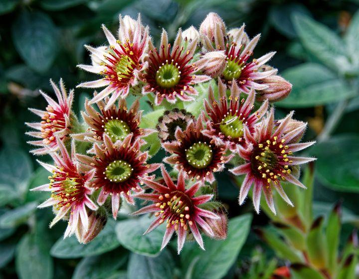 Sempervivum Flowers - JT54Photography