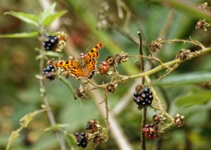 Butterfly in the Brambles