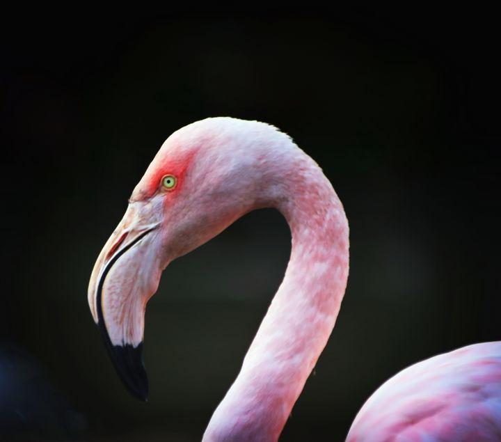 Flamingo Portrait - JT54Photography