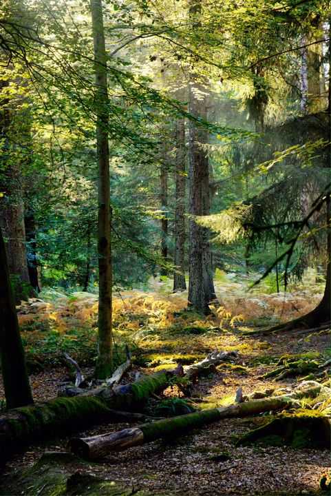 New Forest Woodland - JT54Photography