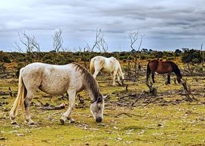 New Forest Ponies On The Heath