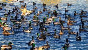 A Flush Of Ducks