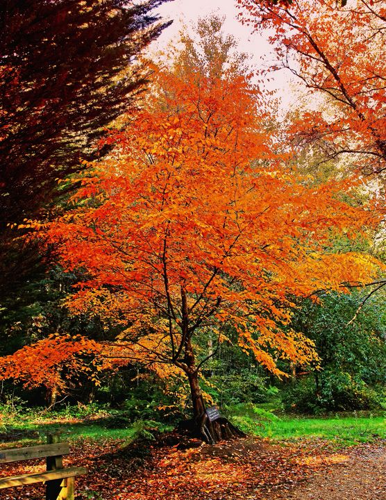 Autumnal Tree - JT54Photography