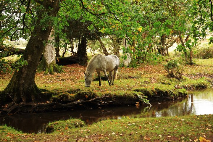 New Forest Pony By A Stream - JT54Photography