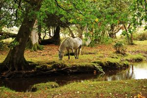 New Forest Pony By A Stream