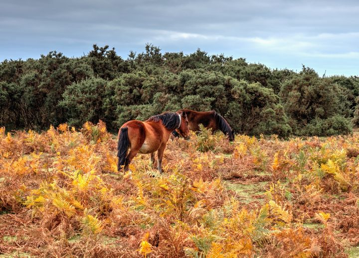 New Forest Ponies In The Bracken - JT54Photography
