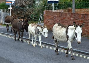 New Forest Donkeys