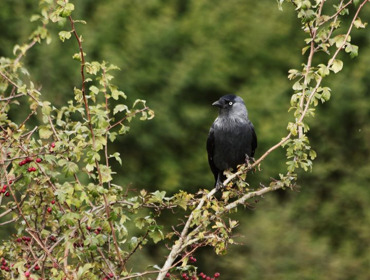 Jackdaw In A Hawthorn Bush - JT54Photography