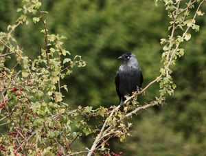 Jackdaw In A Hawthorn Bush
